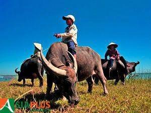 Asiaplus-Voyages-Vietnam-buffles